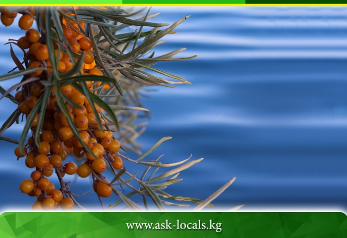 Sea-buckthorn wilds